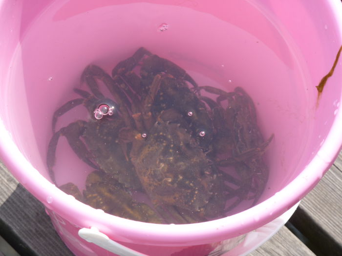 Crabs at the westcoast on August 5
