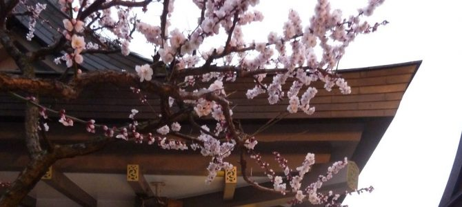 Snow, Plum Blossoms and Gardens